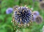 purple-seed-head